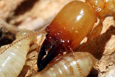 termite-control-gold-coast