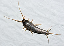 Silverfish control form Dan Purkis - image courtesy wikipedia